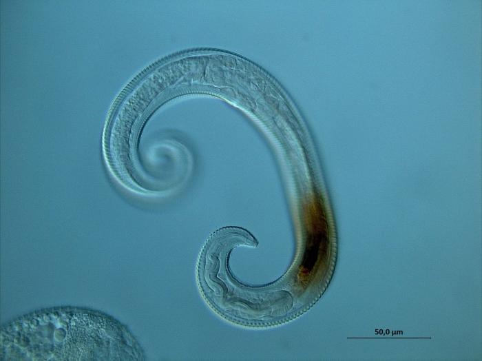 Leptolaimus sp.