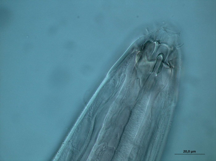 Paramesacanthion sp., detail head