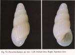 Rissolina humpa Chang & Wu, 2004
