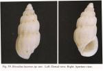 Rissolina laseroni Chang & Wu, 2004
