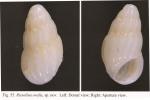 Rissolina ovalis Chang & Wu, 2004