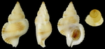 Halgyrineum louisae (Lewis, H., 1974)