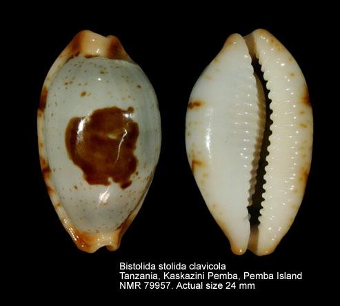 Bistolida stolida clavicola