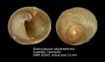 Bostrycapulus calyptraeiformis