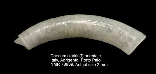 Caecum clarkii