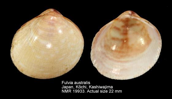Fulvia australis