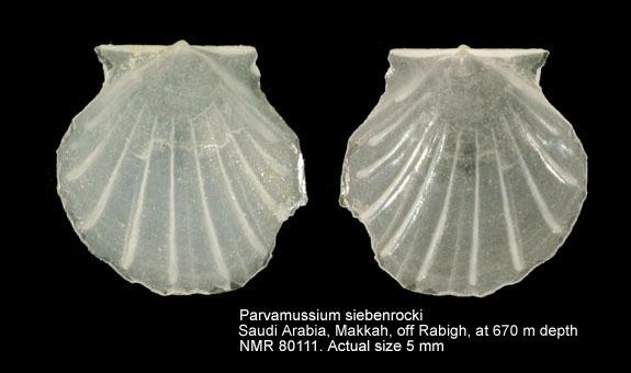 Parvamussium siebenrocki