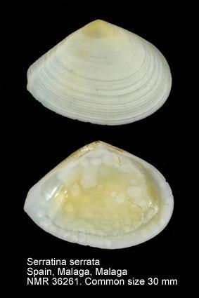 Serratina serrata