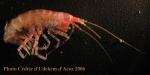 Eusiroidea n det (no spines on back) form ANTXXIII-8 St-654-6 Elephant Island