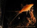 Eusiroidea n det orange ANTXXIII-8 St-654-6 Elephant Island