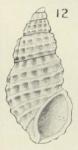 Isselia chiltoni Oliver, 1915