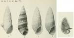 Rissoina achatina Odhner, 1924