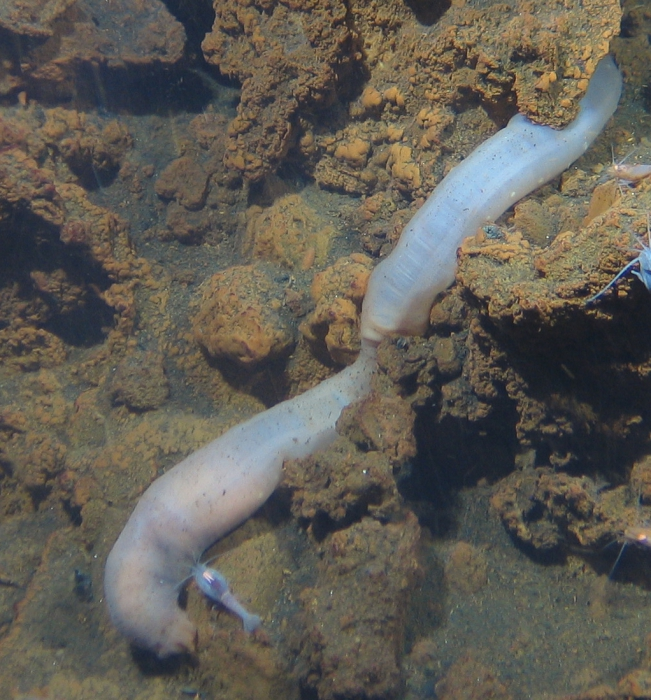 Chiridotidae gen. sp., probably Chiridota