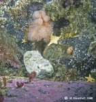 Alcyonium paessleri, Odontaster meridionalis and others