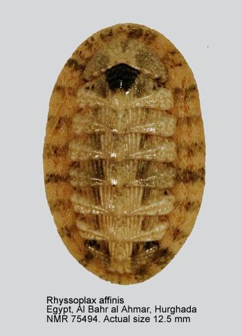 Chiton affinis
