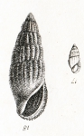 Rissoina bruguieri (Payraudeau, 1826)