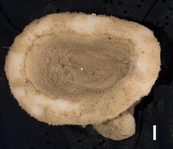 Corallistes typus