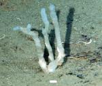 Siphonodictyon viridescens