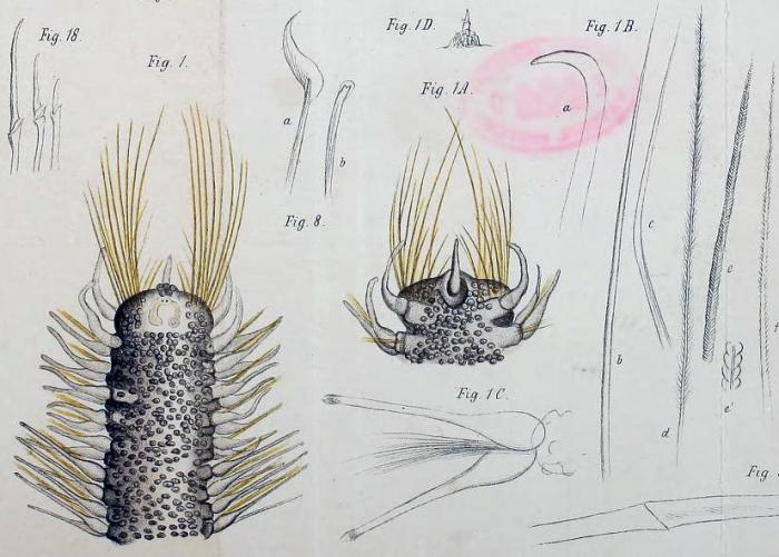 Original colour plate. Poecilochaetus fulgoris