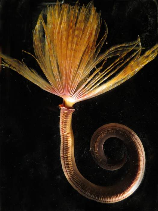 Sabella spallanzanii collected Wellington Harbour, New Zealand