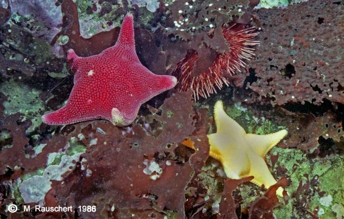 Sterechinus neumayeri, Odontaster validus & Odontaster meridionalis