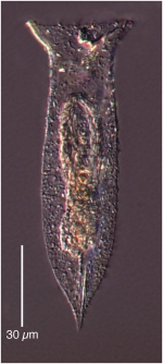 Amphorellopsis acuta