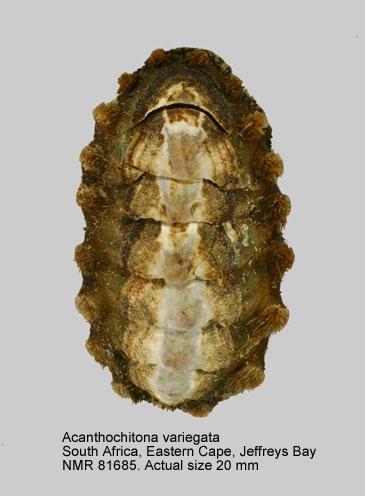 Acanthochitona variegata