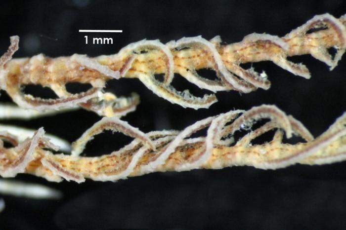 Antedon incommoda incommoda TYPE BMNH 84.11.12.6_specimen1 middle pinnules
