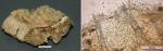 Mycale (Carmia) atropha