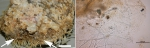Mycale (Paresperella) janvermeuleni