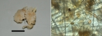 Mycale (Rhaphidotheca) verdensis