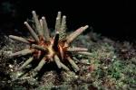 Eucidaris tribuloides (Cape Verde Islands)