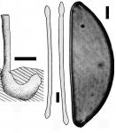 Lepidosphaera hindei