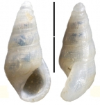 Zebinella punctifera Faber, 2015