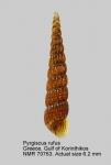 Pyrgiscus rufus