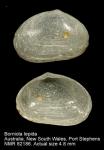 Borniola lepida