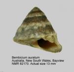 Bembicium auratum