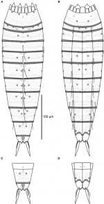 Line art illustrations of Echinoderes augustae sp. nov.
