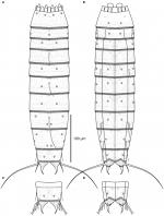 Line art illustrations of Echinoderes skipperae sp. nov