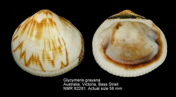 Glycymeris grayana