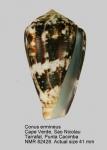Conus ermineus