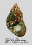 Tricolia pullus