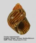 Tricolia milaschewitchi