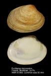 Ruditapes decussatus