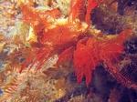 Halopteris glutinosa; Australia, Victoria, Western Port, 6 m deep; photo J. Watson