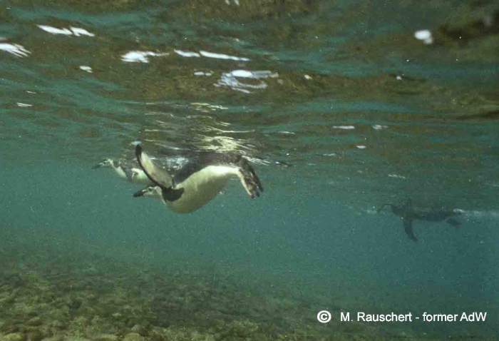 Pygoscelis antarctica dives down