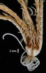 Antedon (=Erythrometra) rubra Holotype USNM 22643