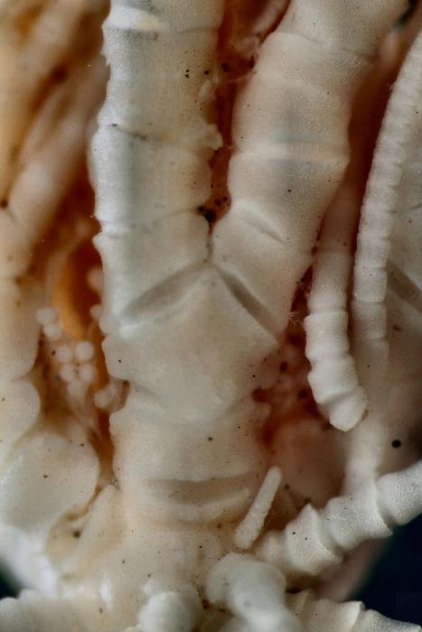 Antedon (=Erythrometra) rubra Holotype USNM 22643 ray base