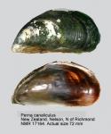 Perna canaliculus