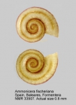 Ammonicera fischeriana